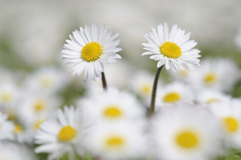 Germany, Bavaria, Daisies (Bellis perennis), close-up - RUEF00324