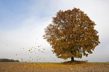 Germany, Bavaria, Maple tree in autumn - FOF02029