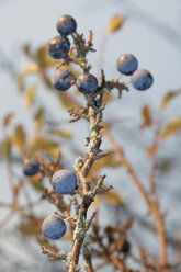 Germany, Nennslingen, Close up of sloes on limb - SRSF00103