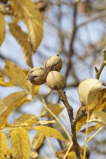 Germany, Nennslingen, Close up of walnuts on limb - SRSF00100