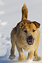 Germany, Bavaria, Parson jack russel dog running in snow - FOF02113