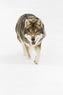 Bavaria, European wolf walking in snow - FOF02077