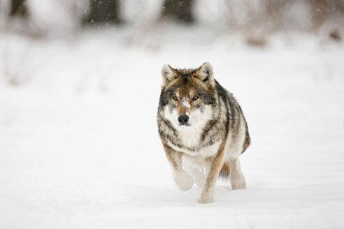 Bavaria, European wolf running in snow - FOF02071