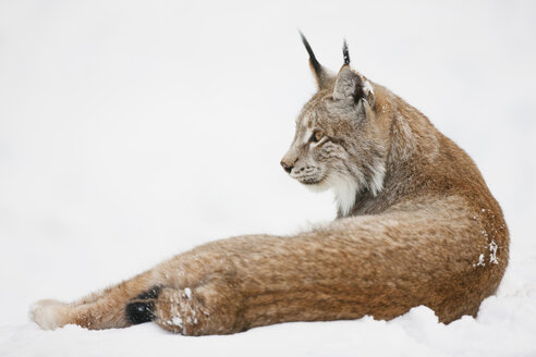 Germany, Bavaria, European lynx lying in snow - FOF02056