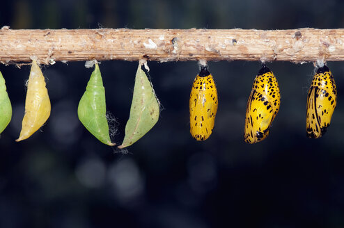 Cocoons hanging from branch - AWDF00532