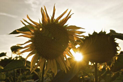 Germany, Close up of sunflowers at sunset - LFF00172