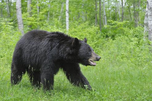 USA, Minnesota Black bear Walking In Forest - RUEF00390