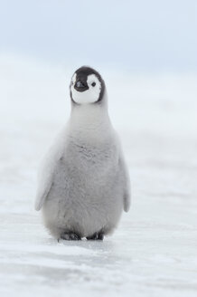 Antarctica, View of young emperor penguin - RUEF00448
