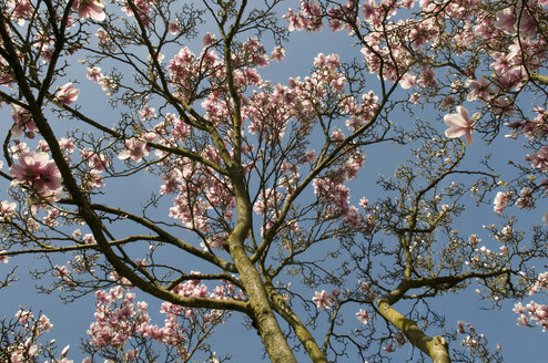 Germany, Stuttgart, Magnolia tree against sky - AWDF00548