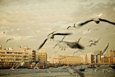 United Arab Emirates, Dubai, seagulls at Dubai Creek - LF000181