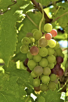 Germany, grapes on vine, close up - LFF000192