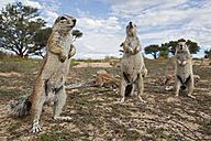 Africa, Botswana, Mabuasehube, African ground squirrel at kgalagadi transfrontier park - FOF002154