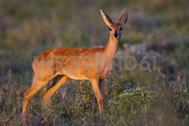 Africa, Botswana, Steenbok in central kalahari game reserve - FOF002175 - Fotofeeling/Westend61