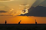 Africa, Botswana, Giraffes in central kalahari game reserve at sunset - FOF002181