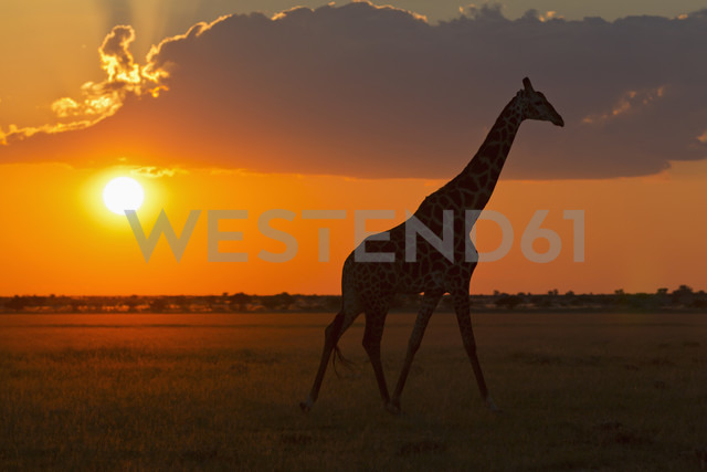 Africa, Botswana, Giraffe in central kalahari game reserve at sunset - FOF002184 - Fotofeeling/Westend61