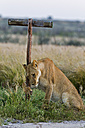 Africa, Botswana, Lioness in central kalahari game reserve - FOF002186