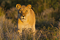 Africa, Botswana, Lioness in central kalahari game reserve - FOF002188