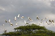 Africa, Botswana, Cattle Egret in central kalahari game reserve - FOF002201