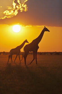 Africa, Botswana, Giraffes in central kalahari game reserve at sunset - FOF002203