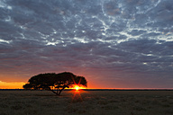 Africa, Botswana, View of central kalahari game reserve at sunrise with a umbrella acacia - FOF002213