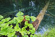 Europe,  Croatia,  jezera, Leafs growing on tree trunk - FOF002269