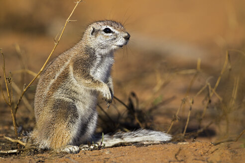 Africa, Botswana, South Africa, Kalahari, African ground squirrel in Kgalagadi Transfrontier Park - FOF002298