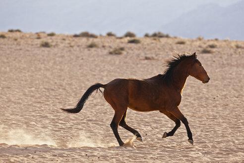 Africa, Namibia, Namib Desert, Wild horse running in Namib Naukluft National Park - FOF002346