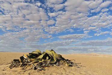Africa, Namibia, Swakopmund, View of welwitschia plant in namib desert - FO002410