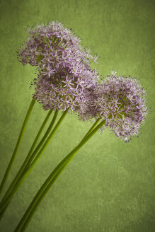 Hamburg, Close up of garlic blossom - TLF000544