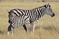 Africa, Namibia, Burchell's zebra with foal in etosha national park - FOF002546