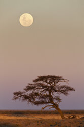 Africa, Namibia, Umbrella thorn acacia in etosha national park at night - FOF002509