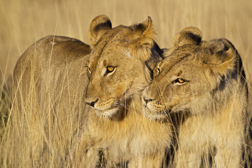 Africa, Namibia, Two lions in Etosha National Park - FOF002491