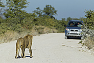 Africa, Namibia, Etosha National Park, Lion standing on dirt track with car in background - FOF002492