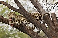 Africa, Namibia, Close up of Leopard on a tree - FOF002497