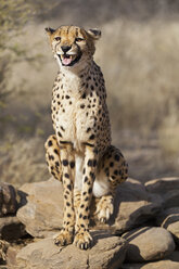 Africa, Namibia, Cheetah - FOF002503