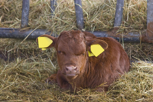 Germany, Cattle calf with labelled ears sitting on hay - HKF000275