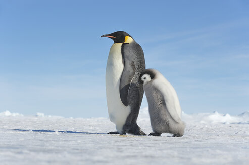 Antarctica, Antarctic Peninsula, Emperor penguin with chick walking on snow hill island - RUEF000530