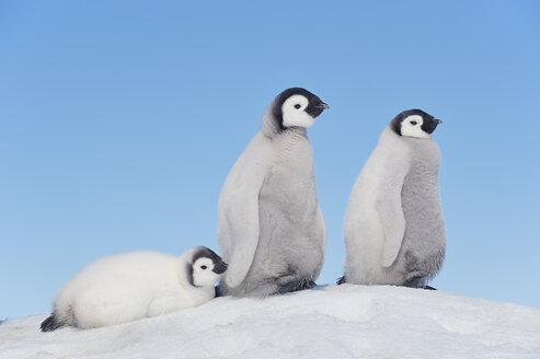 Antarctica, Antarctic Peninsula, Emperor penguin chicks on snow hill island - RUEF000532