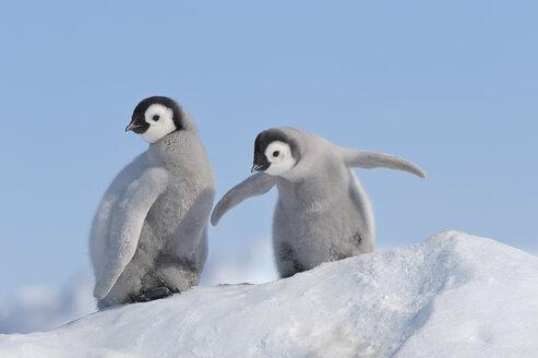 Antarctica, Antarctic Peninsula, Emperor penguin chicks on snow hill island - RUEF000469