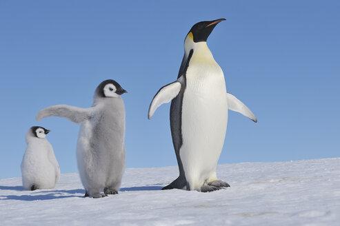 Antarctica, Antarctic Peninsula, Emperor penguin with chicks on snow hill island - RUEF000476