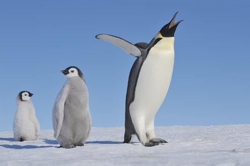 Antarctica, Antarctic Peninsula, Emperor penguin with chicks on snow hill island - RUEF000477