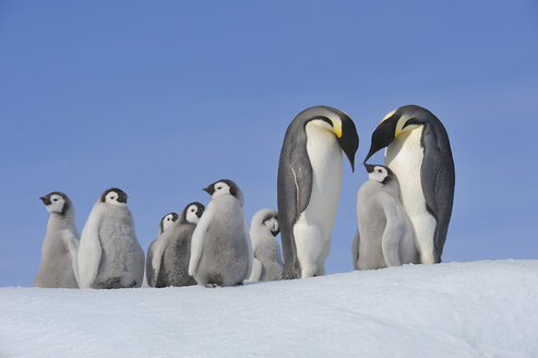 Antarctica, Antarctic Peninsula, Emperor penguins with chicks on snow hill island - RUEF000491