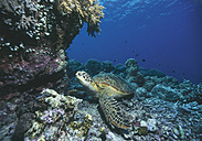 Marine turtle on coral reef - WBF000188