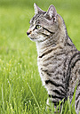 Germany, Cat sitting in meadow - WBF000208