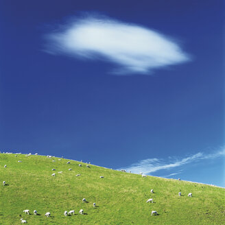 Flock of sheep grazing in landscape - WBF000277
