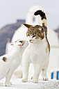 Europe, Greece, Cyclades, Santorini, Cat with kitten on wall - FOF002573