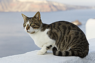 Europe, Greece, Cyclades, Santorini, Cat in the streets of Oia - FOF002608