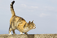 Europe, Greece, Cyclades, Thira, Santorini, Oia, Cat sitting on wall - FOF002812