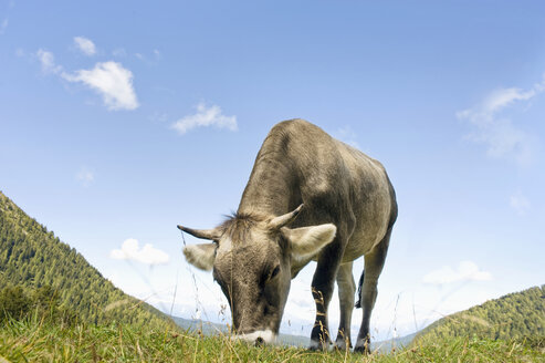 Italy, Dolomites, Cow grazing at latemar alps - RNF000577