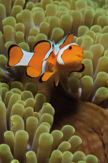Indonesia, Komodo, Clownfish swimming in coral underwater - GNF001191